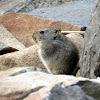 Sloggett's ice rat (or vlei rat)
