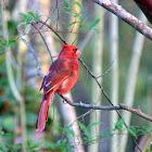 leucistic Northern cardinals