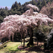 Shidare cherry of Chokozan