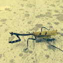 Mexican Unicorn Mantis
