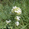 Red valerian -white form (Λευκός Κέντρανθος)