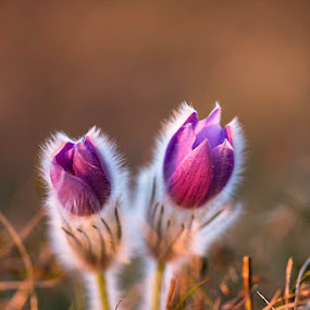 Easter Flower II by Lucija Janša - Novices Only Flowers & Plants ( macro, easter, purple, nature, slovenia, evening, closeup, flower )