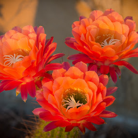 Triple Volcanic Sunset by Robert Marquis - Flowers Flowers in the Wild ( nature, cacti, color, colors, texas, gardens, flowers, garden, bright colors, flower, cactus )