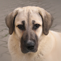 Dog Puzzle: Anatolian Shepherd icon