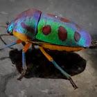 Rainbow Shield Bug