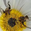Monkey Beetle