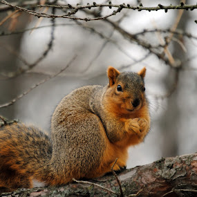 Time for a snack by Barbara Langfeld - Animals Other Mammals ( animals, park, tree, squirrels, arboretum )