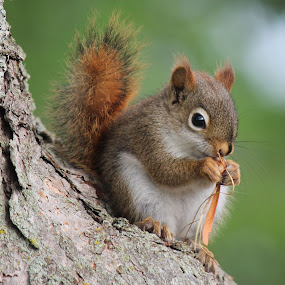 Knitting Squirrel............Who Knew! by Terry Saxby - Animals Other Mammals ( terry, ontario, batawa, saxby, nancy, squirrel )