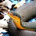 Red-bellied watersnake