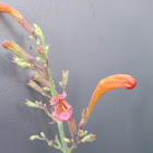Hyssop licorice hummingbird mint