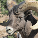 Big Horn Sheep (male)