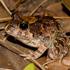 Ornate Burrowing Frog