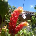 Kembang Udang (Prawn Flower)