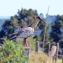 Curicaca, Ibis-de-pescoço-branco (Buff-necked Ibis)
