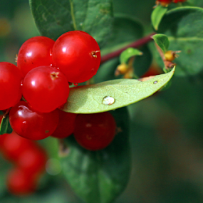 Berries by Rick Touhey - Nature Up Close Other plants ( red berries, wild berries, berries,  )