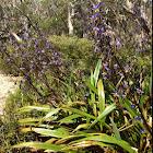 Dianella Tasmanica