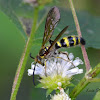 Scoliidae Wasp