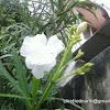 അളരി , कनेर , அலரி, french willow, oleander, pride of Ceylon, rose bay, rose laurel, south-sea rose, sweet-scented oleander