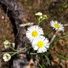 Lazy daisy, Arkansas lazy daisy, Arkansas dozedaisy