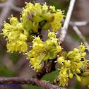 Cornellian Cherry (Dogwood) - Cornus mas