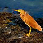 Paddybird (Ardeola grayii)