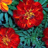 Durango Red French Marigold