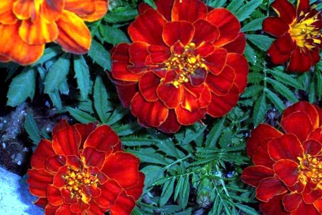 Durango Red French Marigold