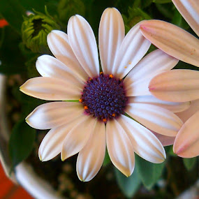 African Daisy by Toni Haas - Flowers Single Flower ( african, white, daisy, flower )