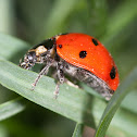nine-spotted lady bug