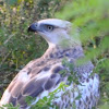 Changeable Hawk Eagle; Crested Hawk Eagle