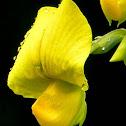 Yellow wild indigo