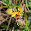 Wallflower Orchid