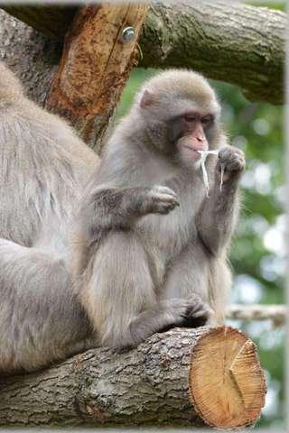 일본 원숭이 퍼즐|玩解謎App免費|玩APPs