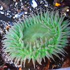 Giant Green Anenome