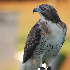 Red Tailed Hawk by Skye Stevens - Animals Birds ( bird, bird of prey, red tailed hawk, wildlife,  )
