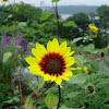 Girasol. Sunflower?