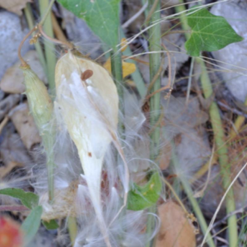 Green milkweed vine