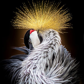 Crowned by Linh Tat - Animals Birds ( crowned, bird, beautiful, gold, crane, feathers,  )