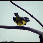 Spot-winged Grosbeak
