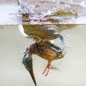 Kingfisher - Guarda-rios