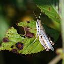 Lesser Migratory Grasshopper