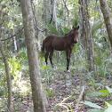 Wild Spanish Horse