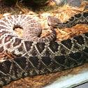 Eastern Diamond Back Rattle Snake