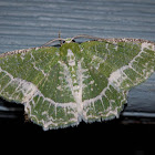 Lacy Emerald Moth