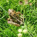 Granota pirinenca o Granota roja / Common frog