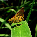 Yellow Palm Dart