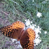 Butterfly~Great Spangled Fritillary
