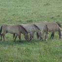 Takhi or Mongolian Wild Horse