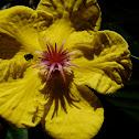 Simpoh air flower