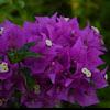 Bougainvillea / paper flower